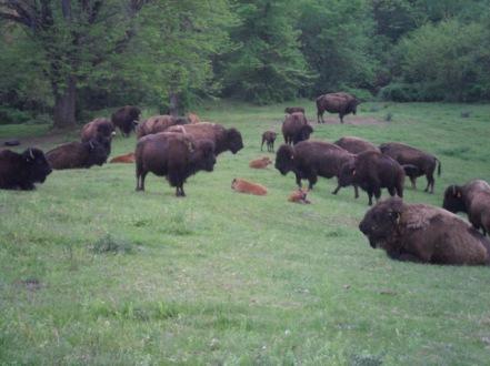 Dreesman Buffalo Ranch